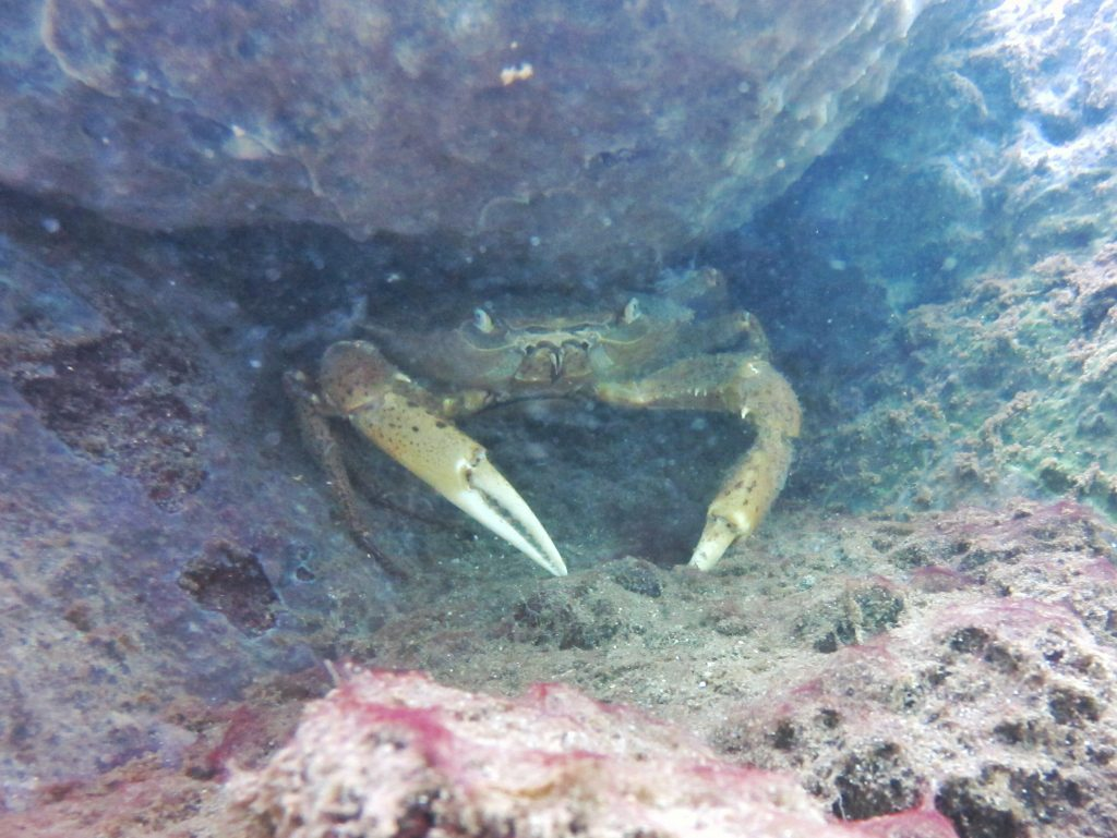 Il y a aussi beaucoup de crabes
